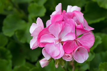 Closeup of pink Geranium flowers blooming with blurred green garden background
