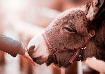 Foto auf Leinwand Esel Esel im Streichelzoo riecht an einer Hand