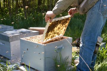 Apiculture - visite sanitaire du rucher d'un apiculteur
