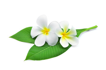 Keuken foto achterwand Frangipani frangipani or plumeria , tropical flowers with green leaves isolated on white background