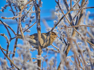 sparrow in the bushes. winter