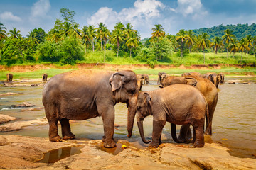 Pinnawala Elephant Orphanage. Many elephants bathing in the river, Sri Lanka