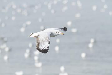 Seagull flying at seashore