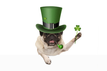 st patricks day pug puppy dog with green leprechaun hat and pipe, holding up shamrock clover, isolated on white background