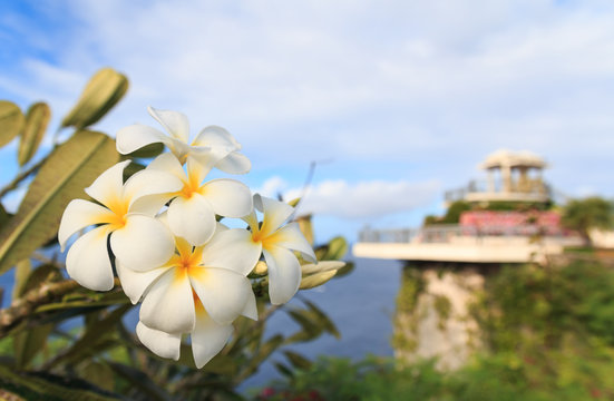 Yellow Plumeria blooming at Two Lovers Point