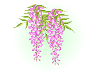 pink wisteria flower spring background illustration vector