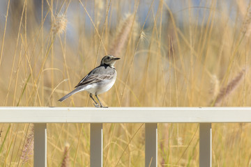 Grey Wagtail on fence