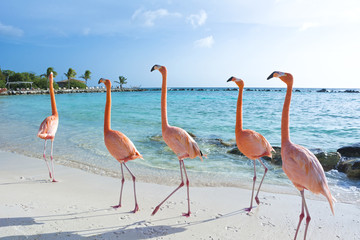 Printed kitchen splashbacks Flamingo Pink flamingo, Aruba island