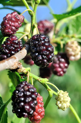 close-up of the ripening  black mulberry on tree, vertical composition