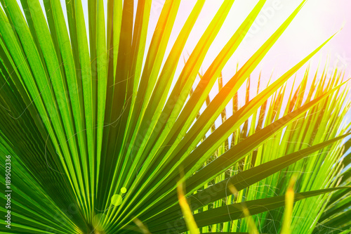 Natural Pattern From Large Round Spiky Palm Tree Leaves On Clear Blue Sky Background Golden