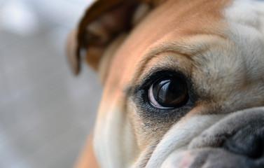 Bulldog looking at you
