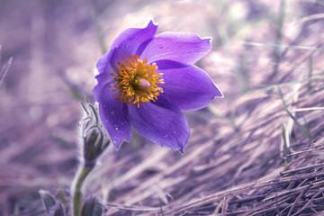 Pasque flower in spring.