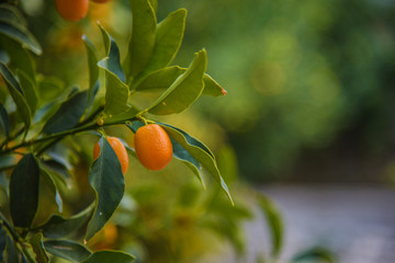 Kumquat (Fortunella) growing on the bush