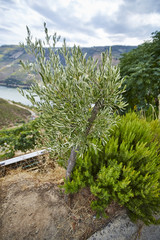 Young olive tree next to the rosemary bush on the foreground in the douro wine growing area, Portugal Europe
