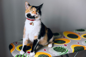 tricolor cat all in attention