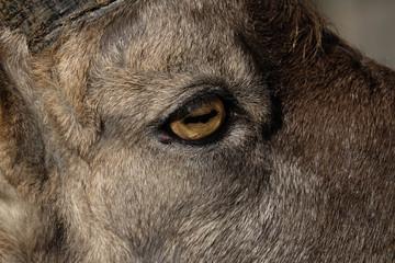 Auge von Steinbock