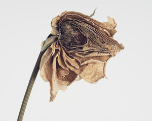 Close-up of dried rose cut in half on white background