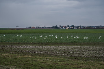 Foto auf Acrylglas Schwan Meadow with group of swans resting and eating grass. Germany Hesse