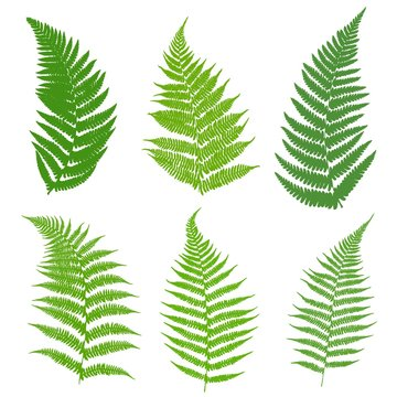 A set of ferns. Leaves of a fern, green on a white background. Vector illustration.