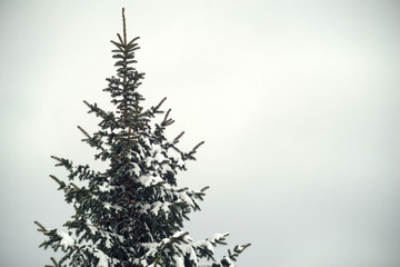 Snow covered spruce, free space.