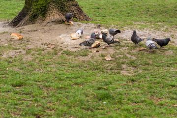 Pigeons eat bread