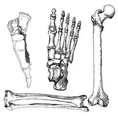 Set of human leg bones with foot.