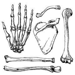Set of human hand bones with scapula and collarbone.