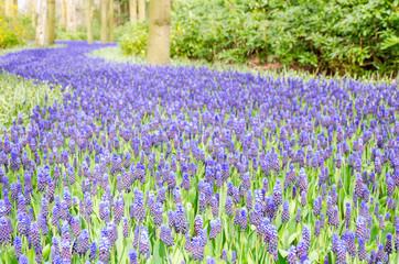 Beautiful purple muscari in Keukenhof Gardens, Netherlands