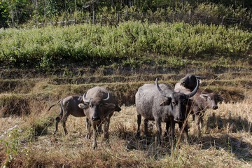 Buffaloes in the fields of Thailand