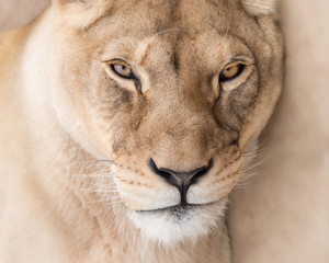 Fototapete - Lioness beautiful face