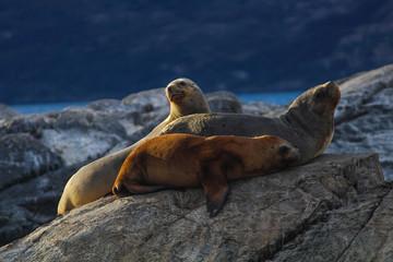 Leões marinhos em Ushuaia