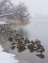 Snow Geese on Lake During Snow Storm