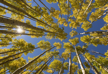 Looking Up at Golden Aspens with Sun Peaking Through Trees