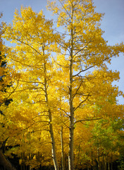 Golden Yellow Aspen Trees in the Fall along Squaw Pass, CO