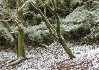 A dusting of snow on the forest floor