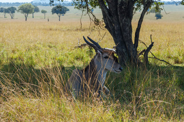 Eland in Kenya, Africa