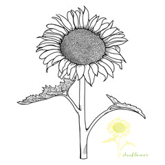 Hand-drawn Sunflower Front View Vector