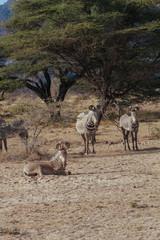 Springbok in Nature