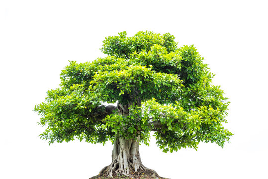 A big tree with green leaves isolated over white background