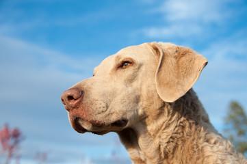 Canine portrait of Chesapeake Bay retriever