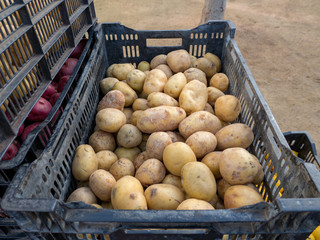 Overhead shot of crated potatoes ready for market