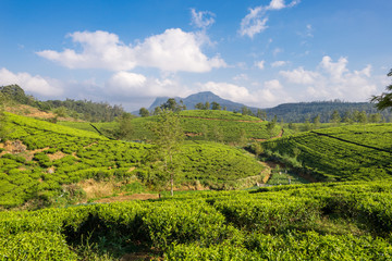 Tea plantation near the town Nuwara Eliya, approx 1900m above sea level. Tea production is on of the main economic sources of the country. Sri Lanka is the worlds fourth-largest producer of tea
