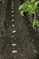 Kartoffel; Anbau, Bio, Hausgarten, Setzling,Glyphosat
