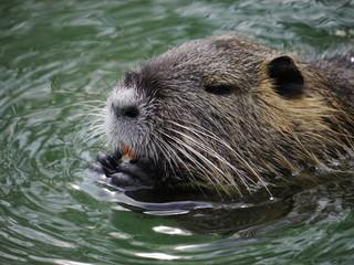 beaver swimming lake
