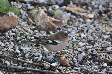 Adult male chaffinch (Fringilla coelebs) in winter time. Little bird looking food on the ground