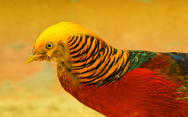 Golden Pheasant closeup