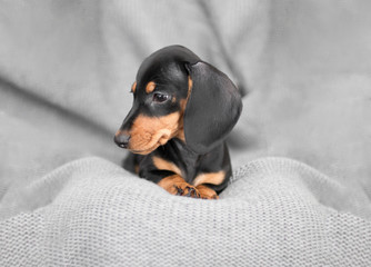 little puppy Dachshund on a gray background