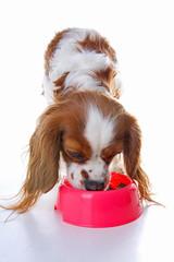 Dog puppy eating. Dog food photo illustration on white background. Cavalier king charles photos.