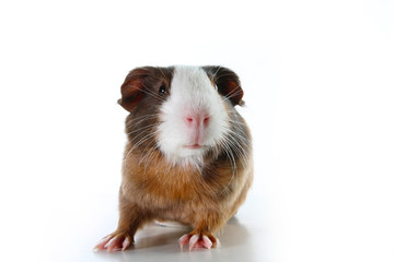Guinea pig on studio white background. Isolated white pet photo. Sheltie peruvian pigs with symmetric pattern. Domestic guinea pig Cavia porcellus or cavy