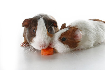 Guinea pigs on studio white background. Isolated white pet photo. Sheltie peruvian pigs with symmetric pattern. Domestic guinea pig Cavia porcellus or cavy